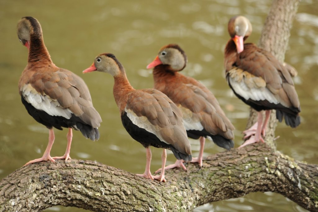 Black-Bellied-Whistling-Tree-Ducks-029.jpg